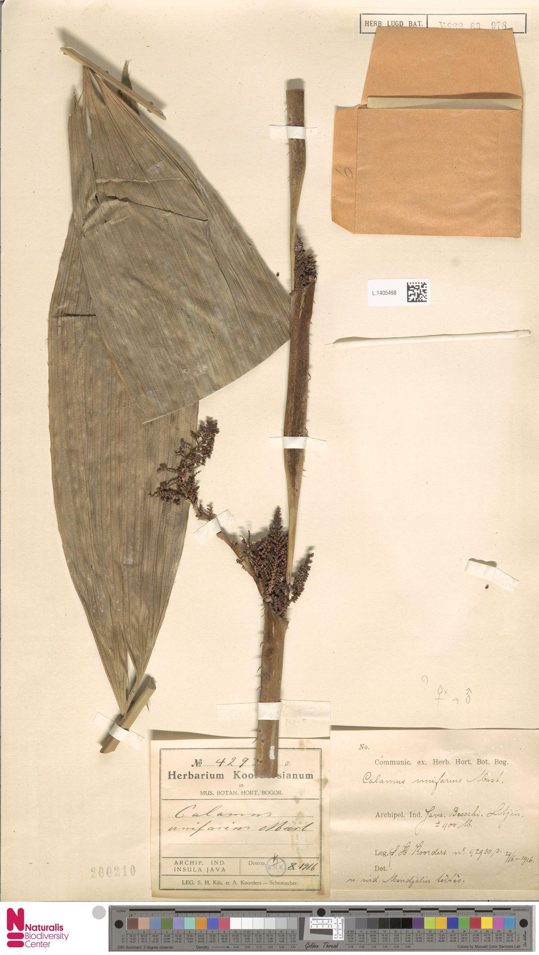 L.1405498 | Calamus unifarius H.Wendl.