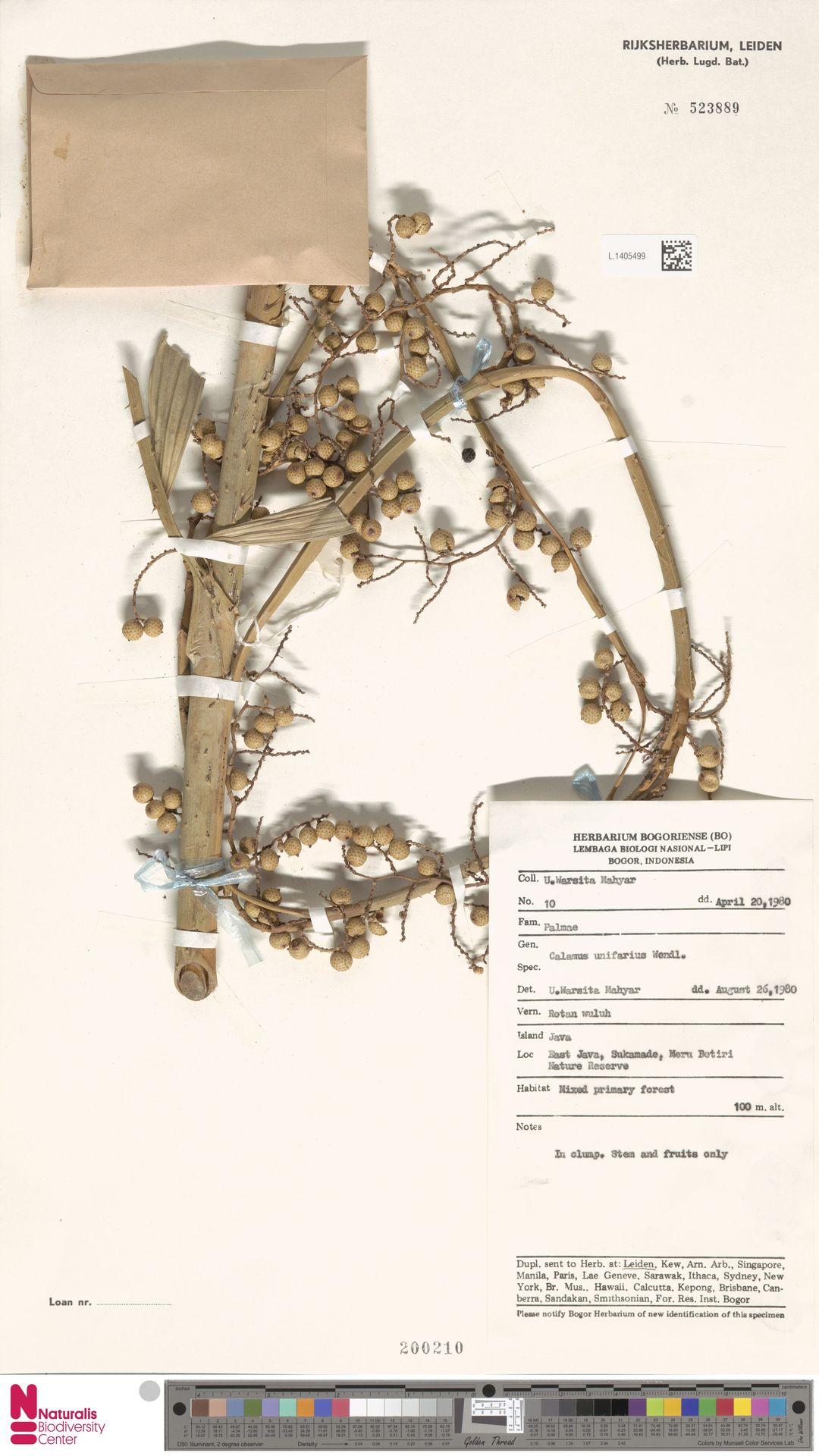 L.1405499   Calamus unifarius H.Wendl.