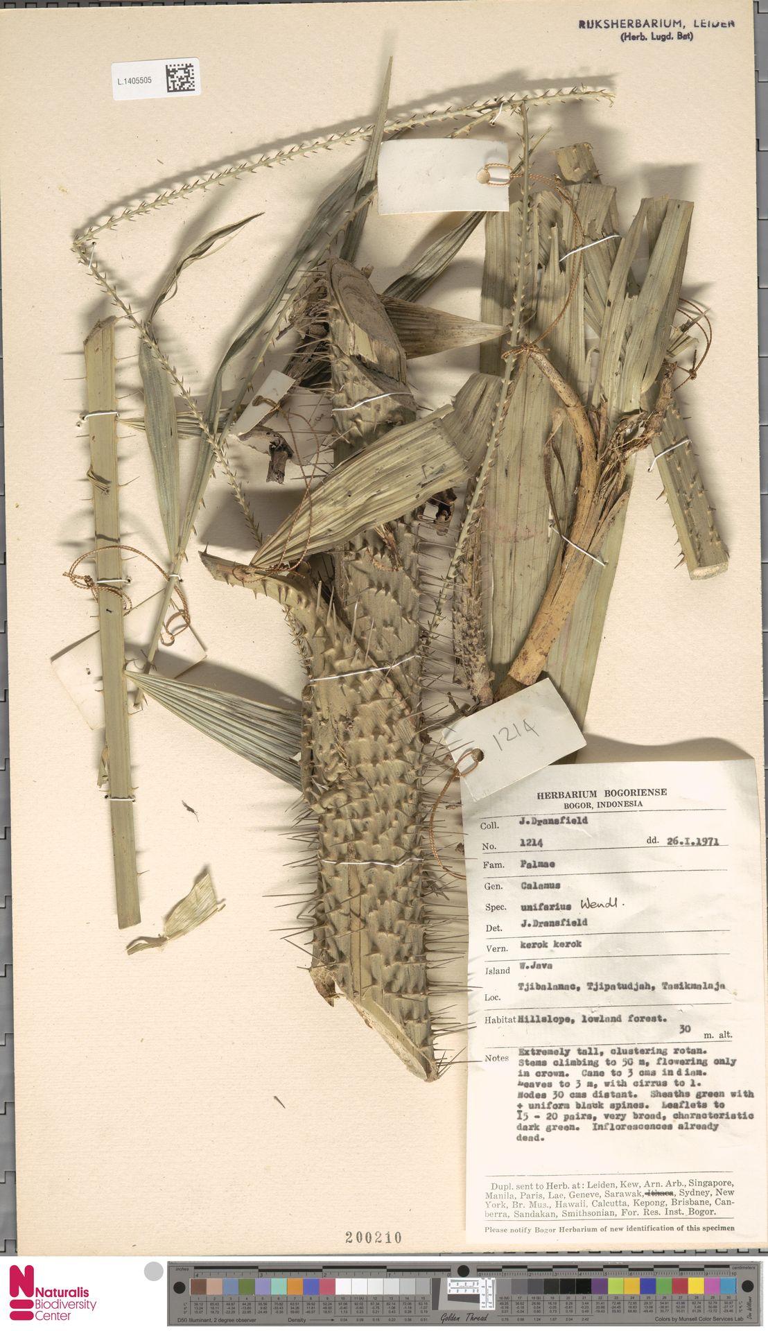 L.1405505 | Calamus unifarius H.Wendl.
