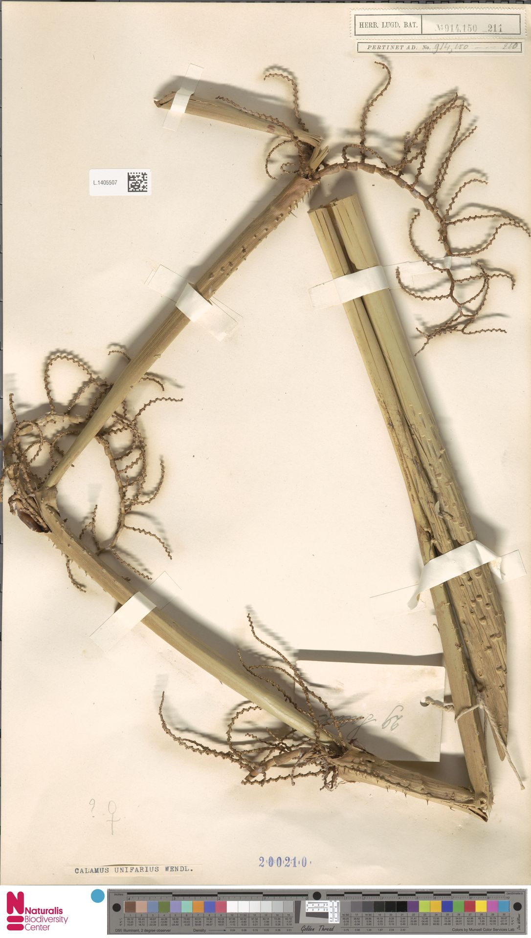 L.1405507 | Calamus unifarius H.Wendl.