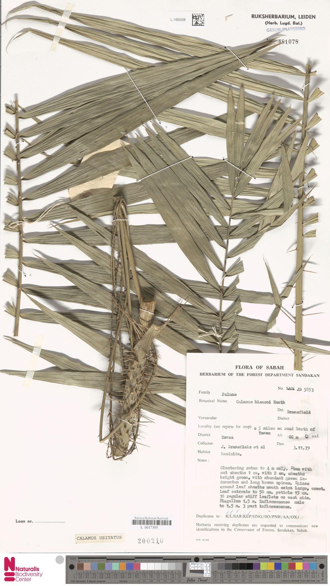 L.1405508 | Calamus usitatus Blanco