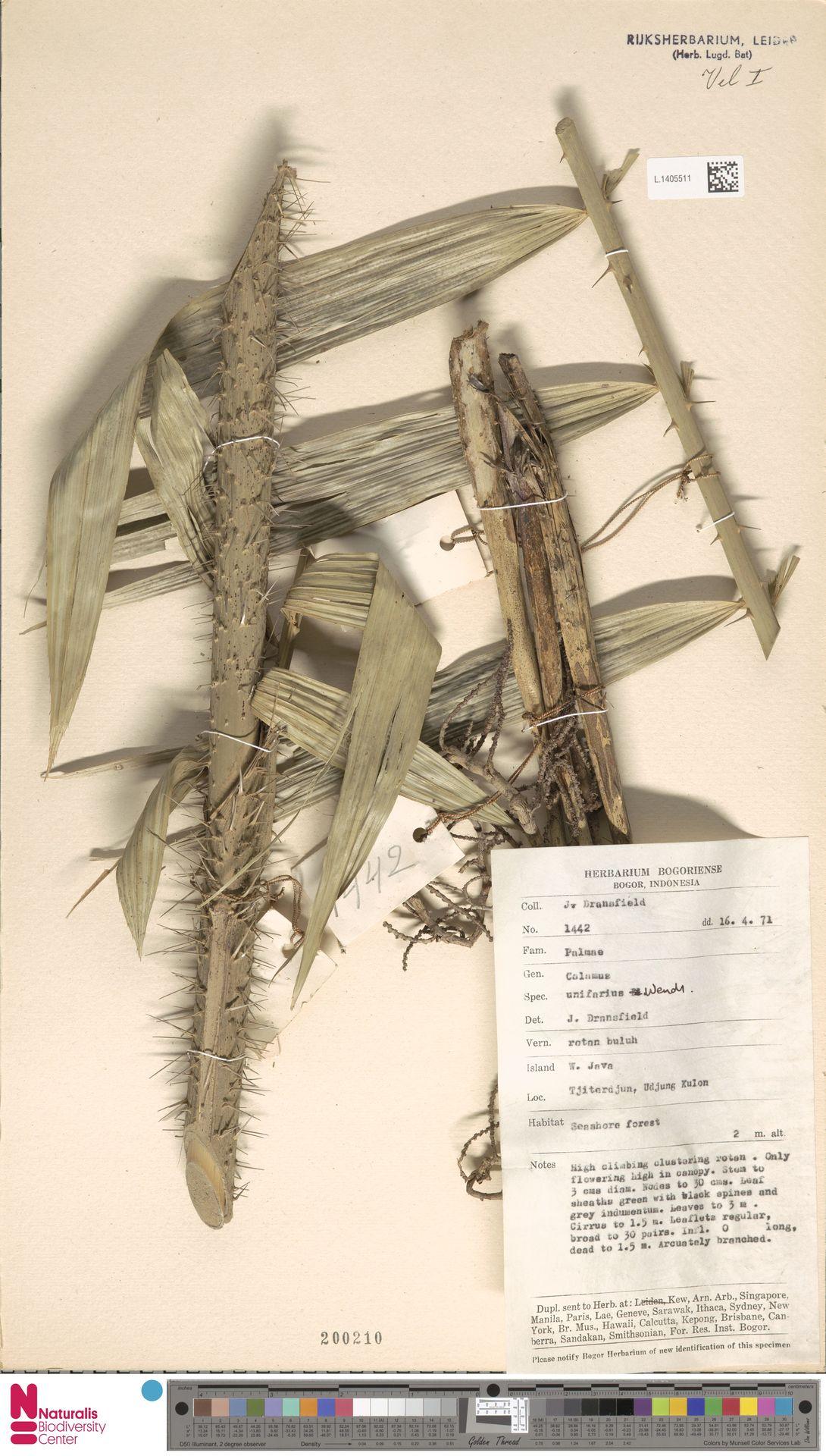 L.1405511 | Calamus unifarius H.Wendl.