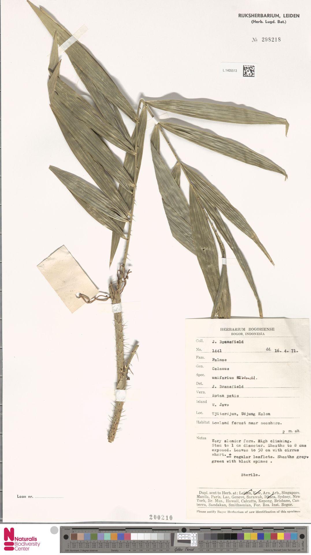 L.1405513 | Calamus unifarius H.Wendl.