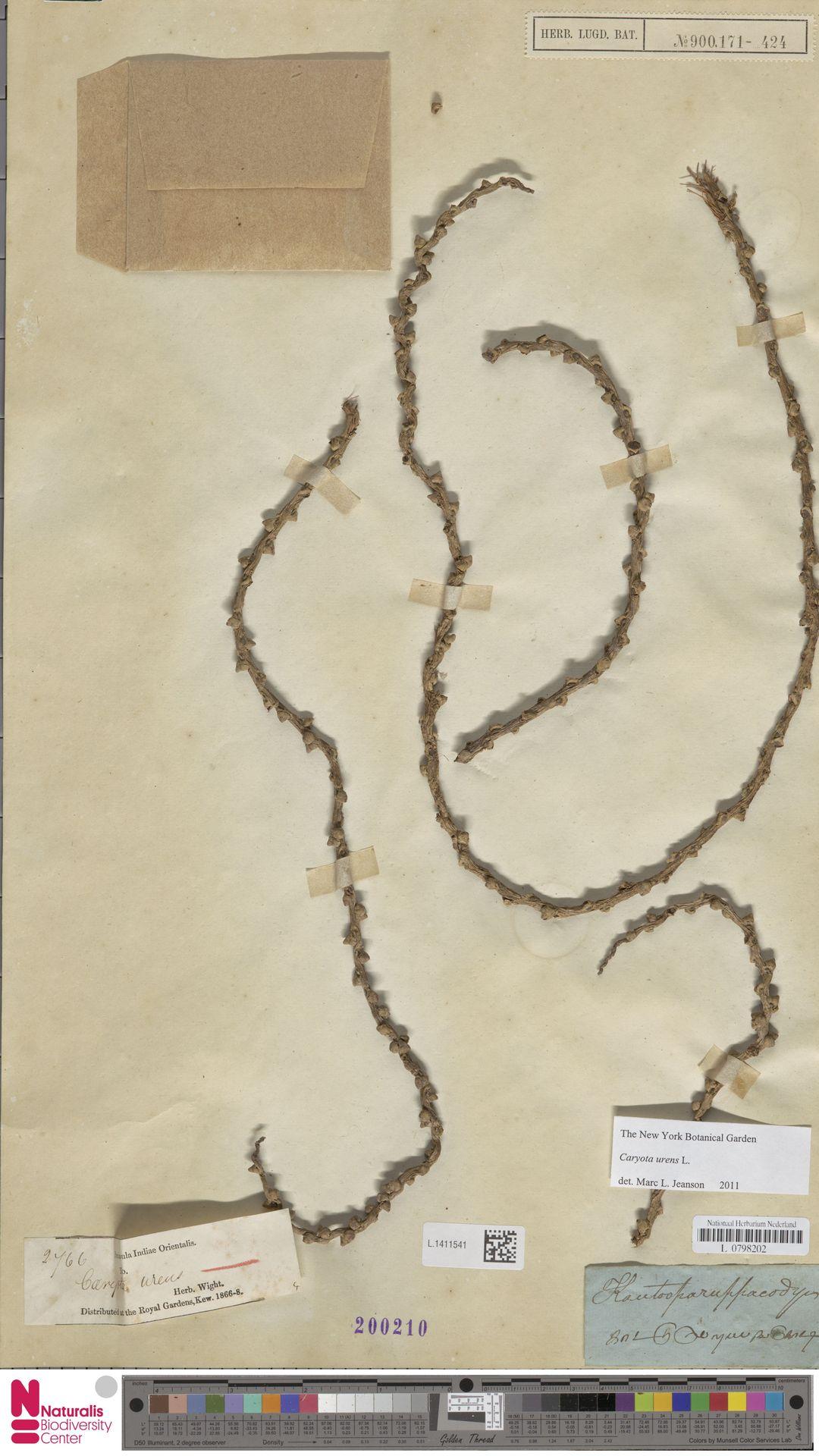 L.1411541 | Caryota urens L.