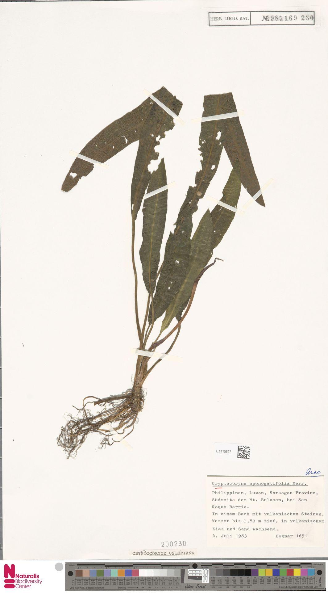 L.1415697 | Cryptocoryne usteriana Engl.