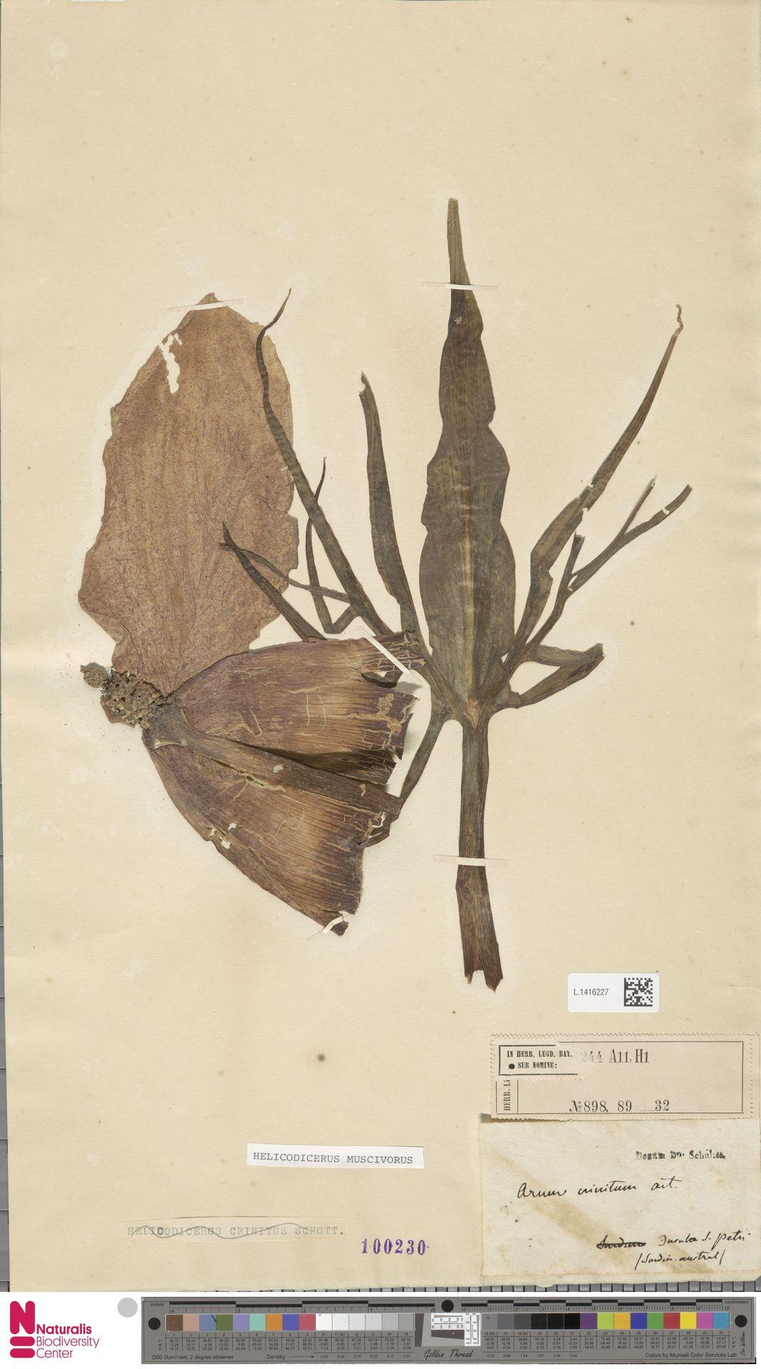 L.1416227 | Helicodiceros muscivorus (L.f.) Engl.