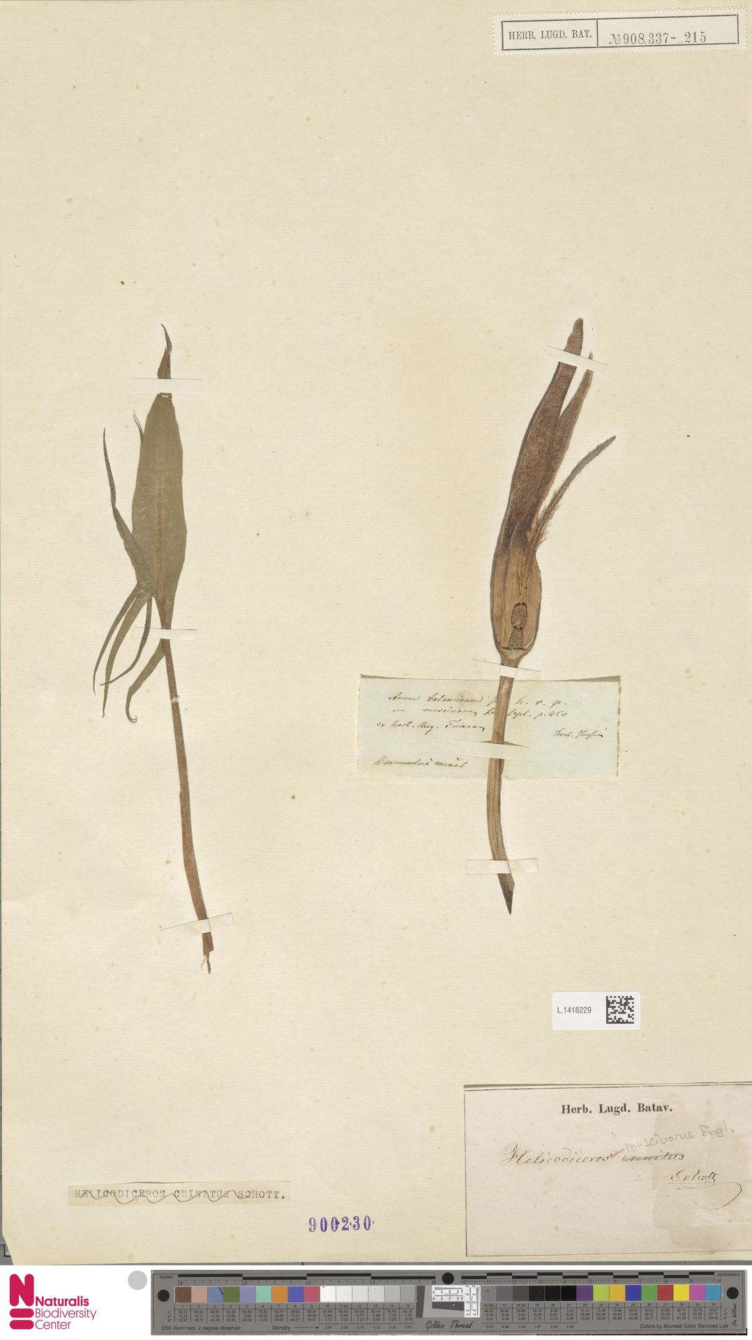 L.1416229 | Helicodiceros muscivorus (L.f.) Engl.