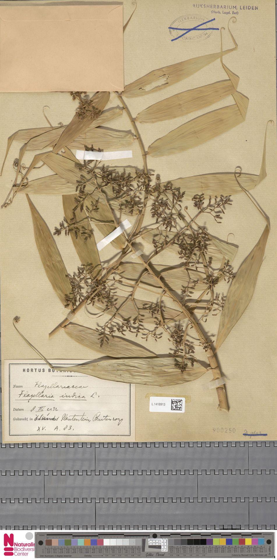 L.1418913 | Flagellaria indica L.