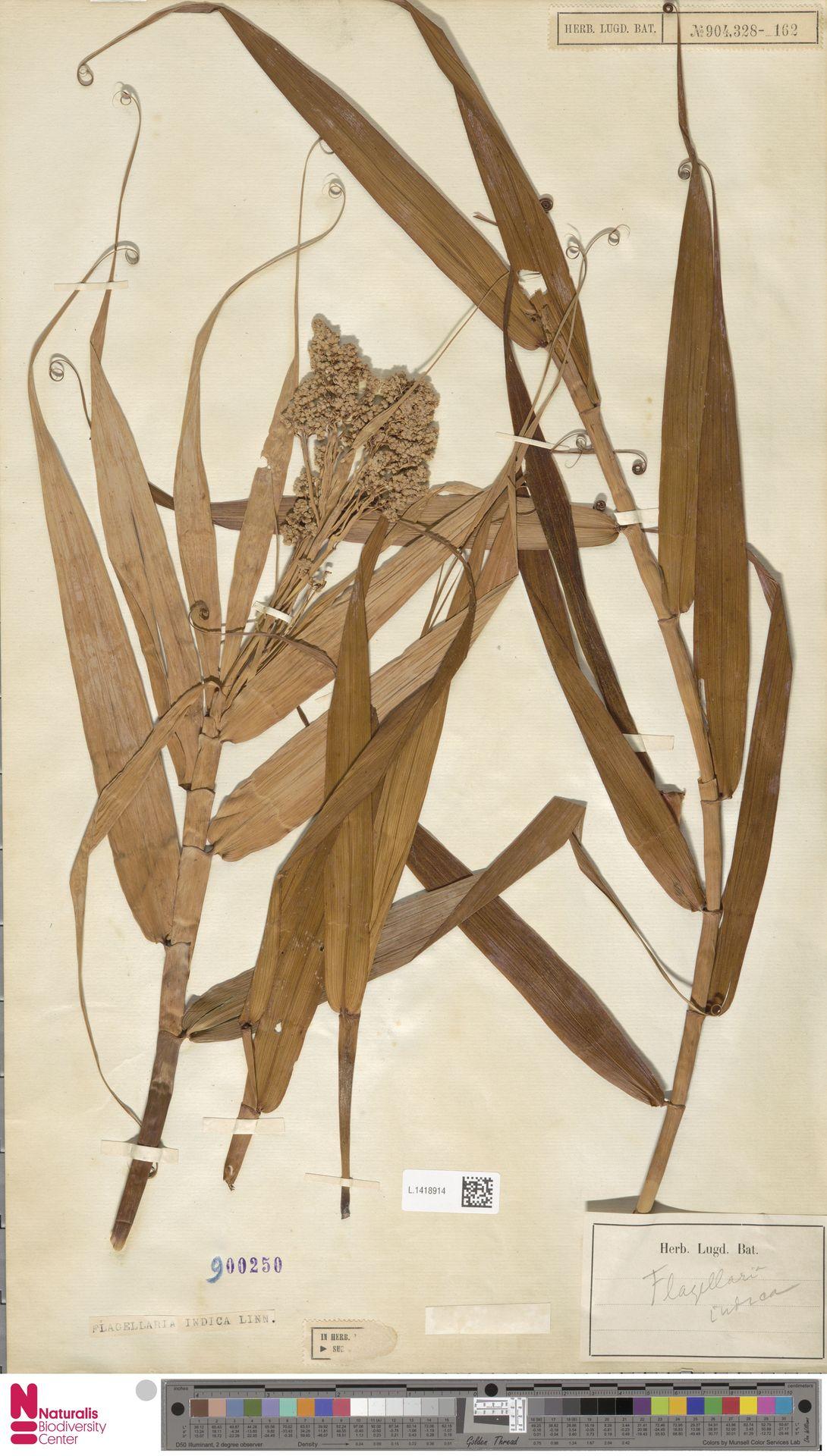 L.1418914 | Flagellaria indica L.