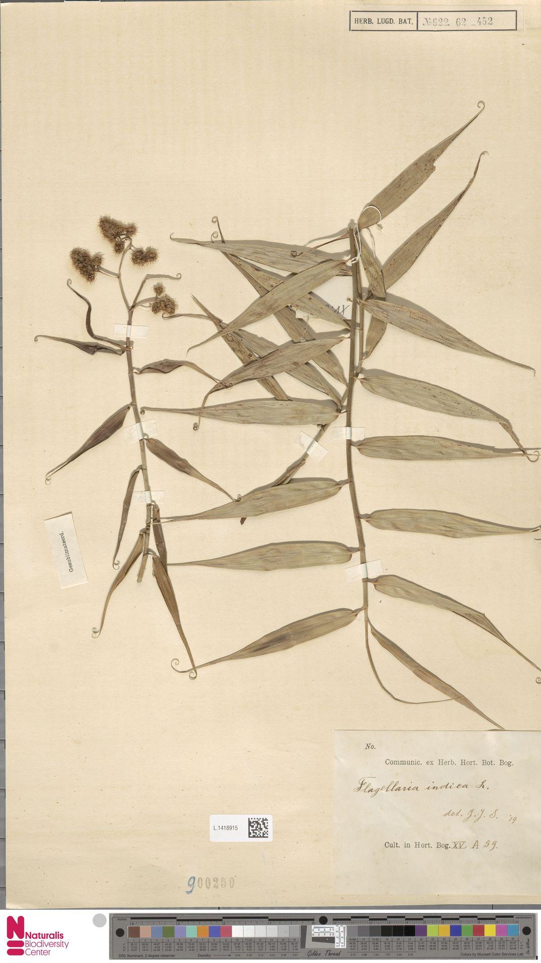 L.1418915 | Flagellaria indica L.