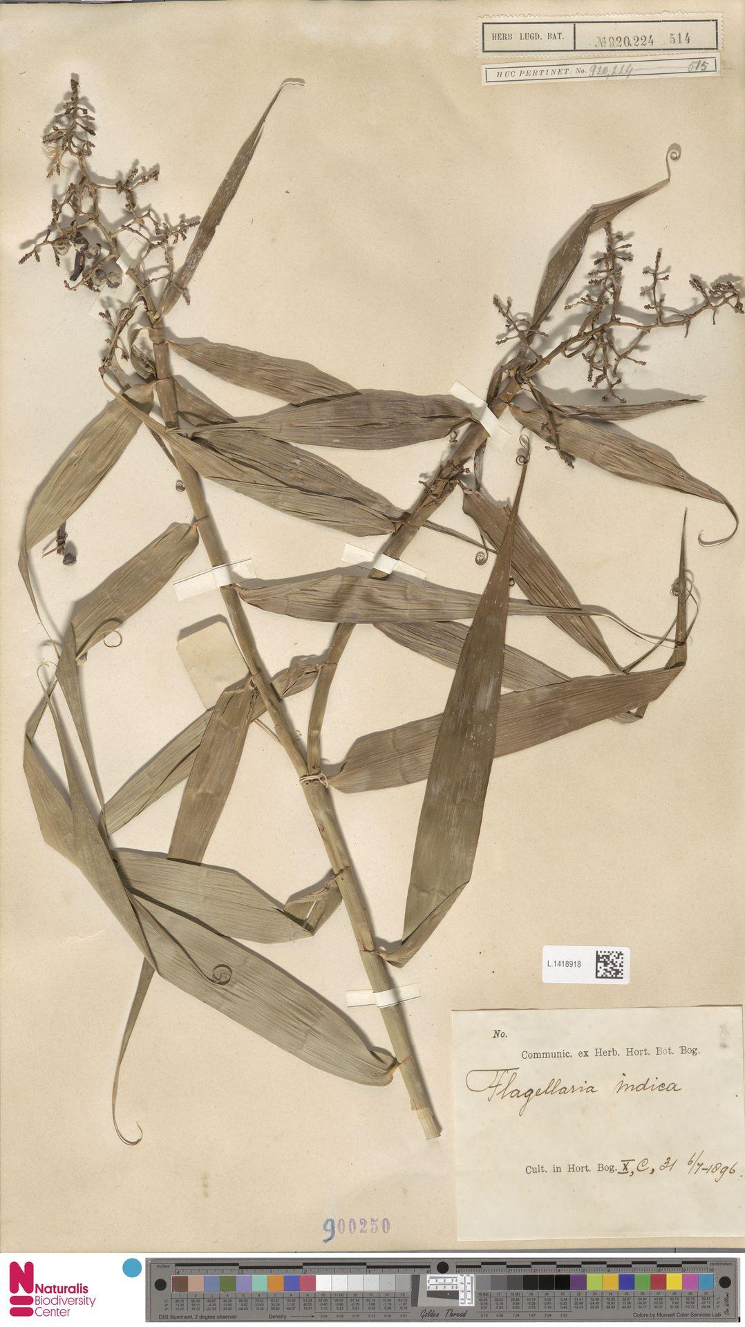 L.1418918 | Flagellaria indica L.