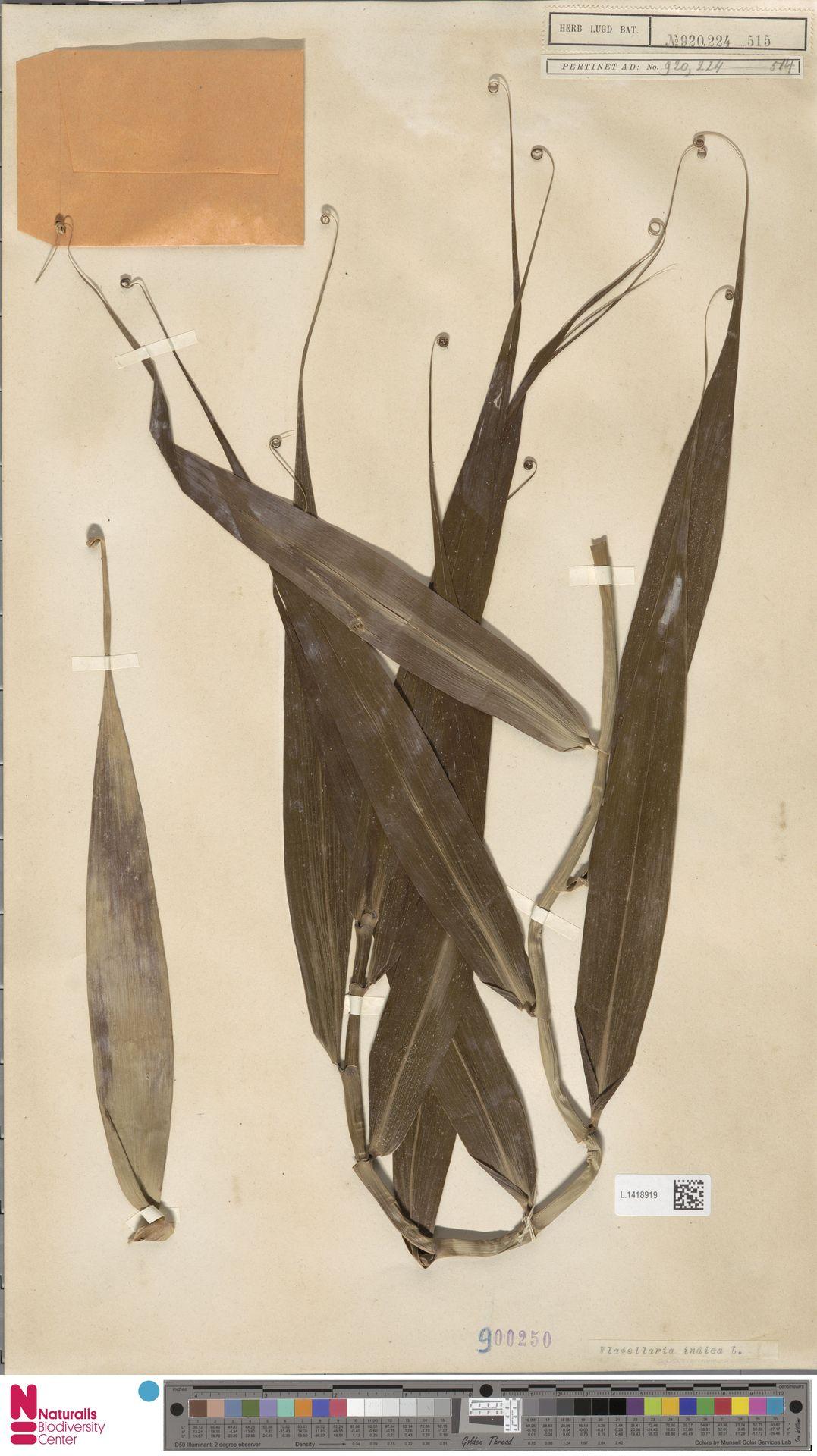 L.1418919 | Flagellaria indica L.