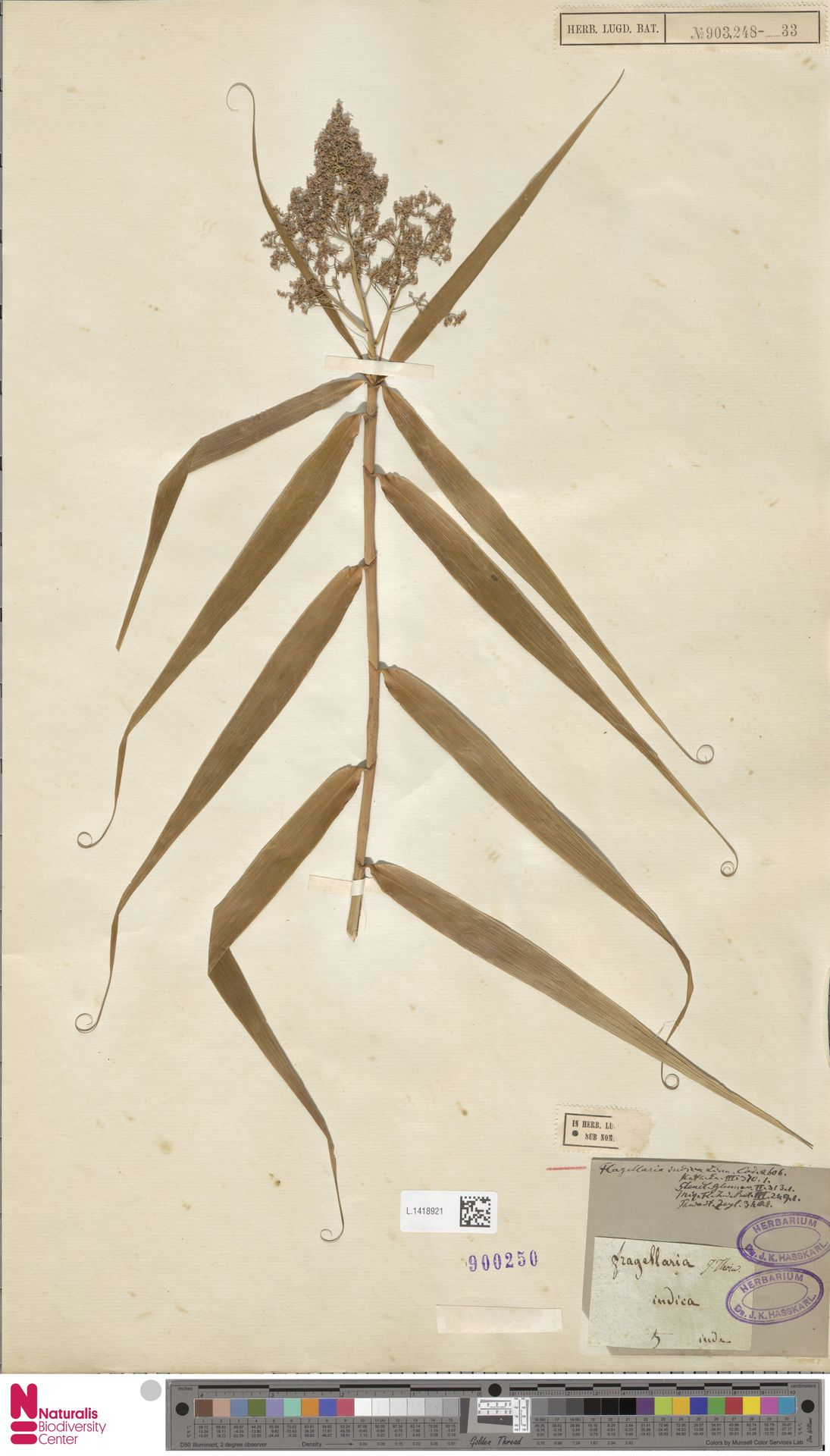 L.1418921 | Flagellaria indica L.