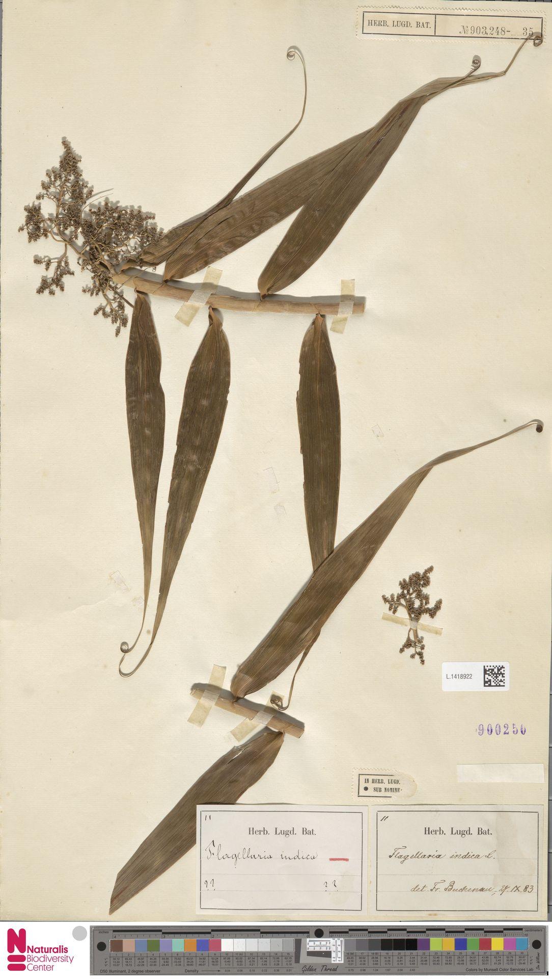 L.1418922 | Flagellaria indica L.