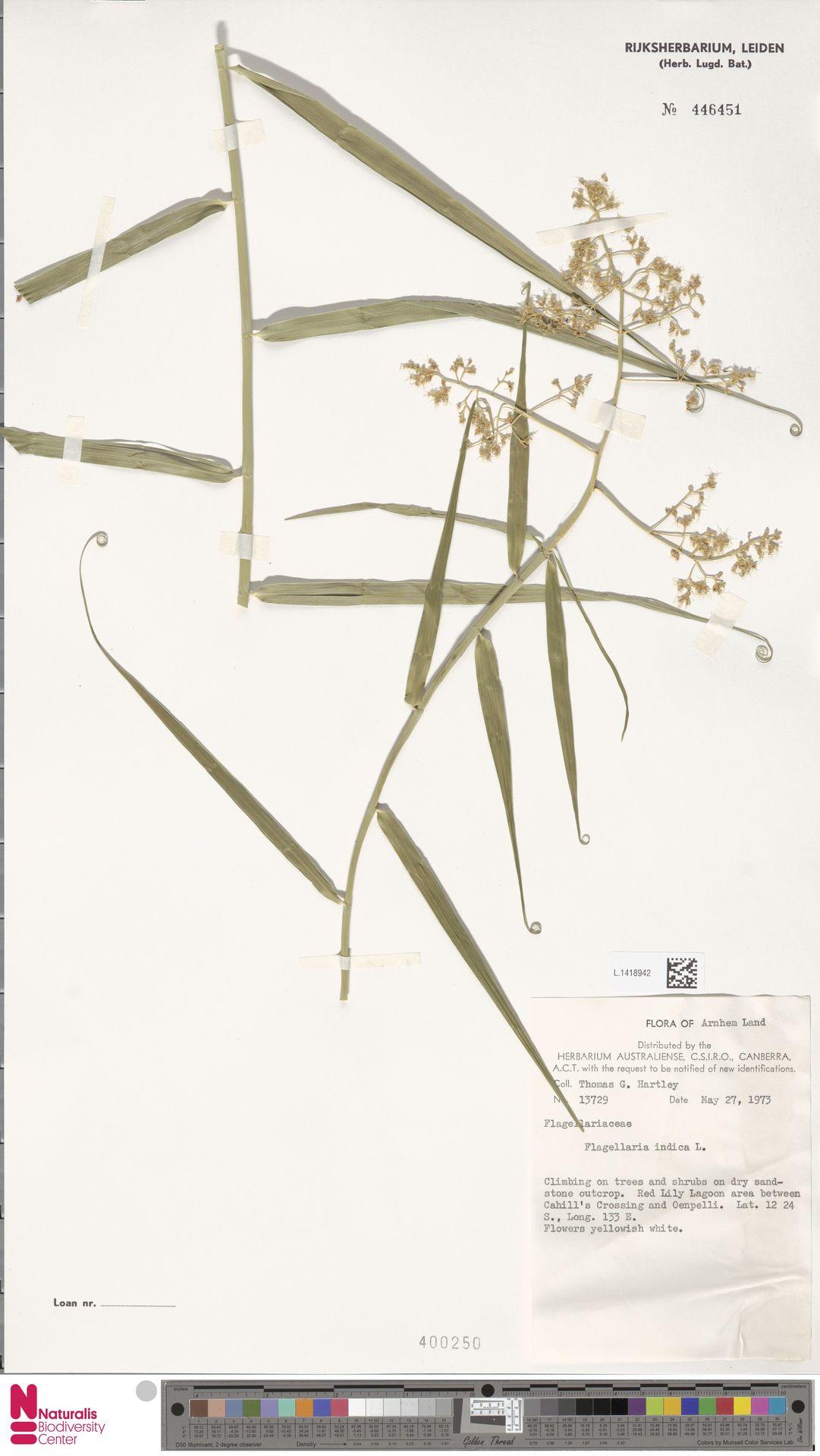 L.1418942 | Flagellaria indica L.