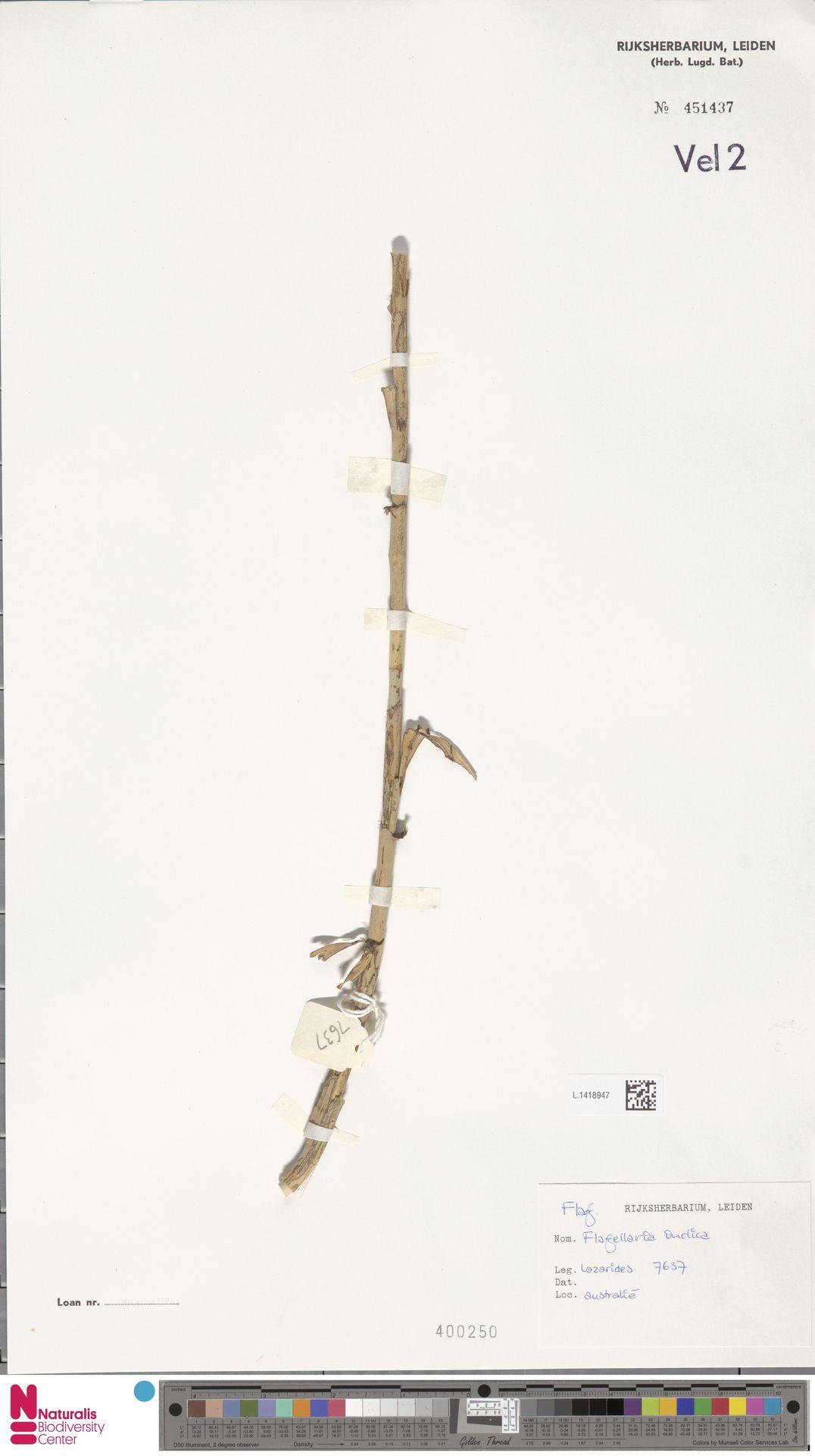 L.1418947 | Flagellaria indica L.
