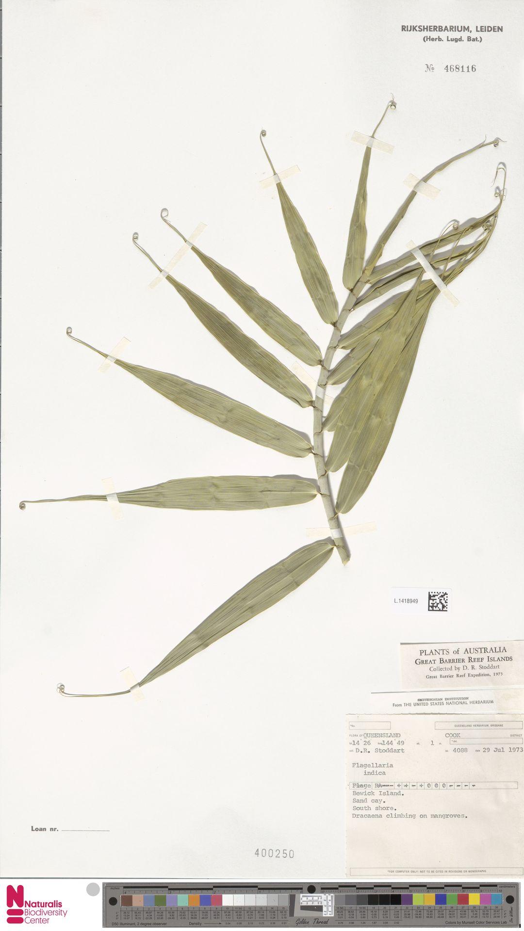 L.1418949 | Flagellaria indica L.