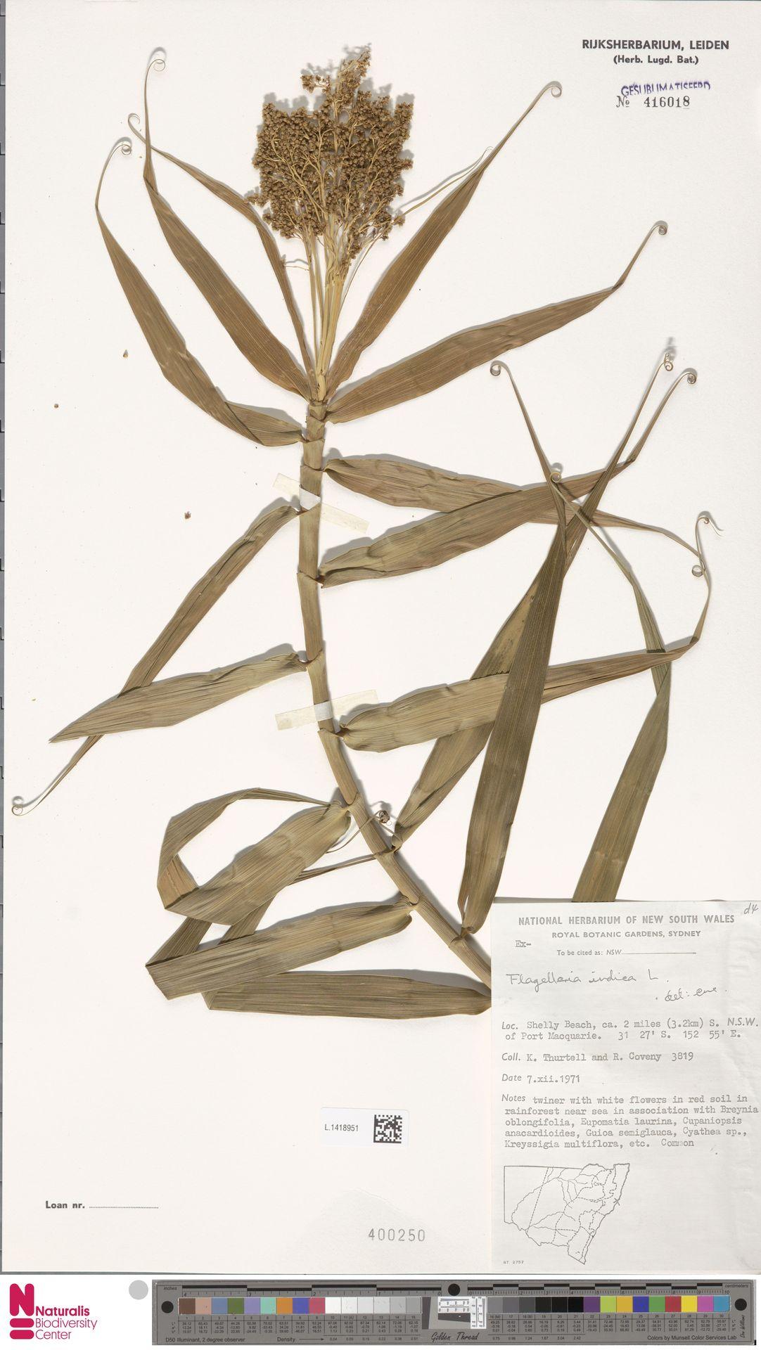 L.1418951 | Flagellaria indica L.