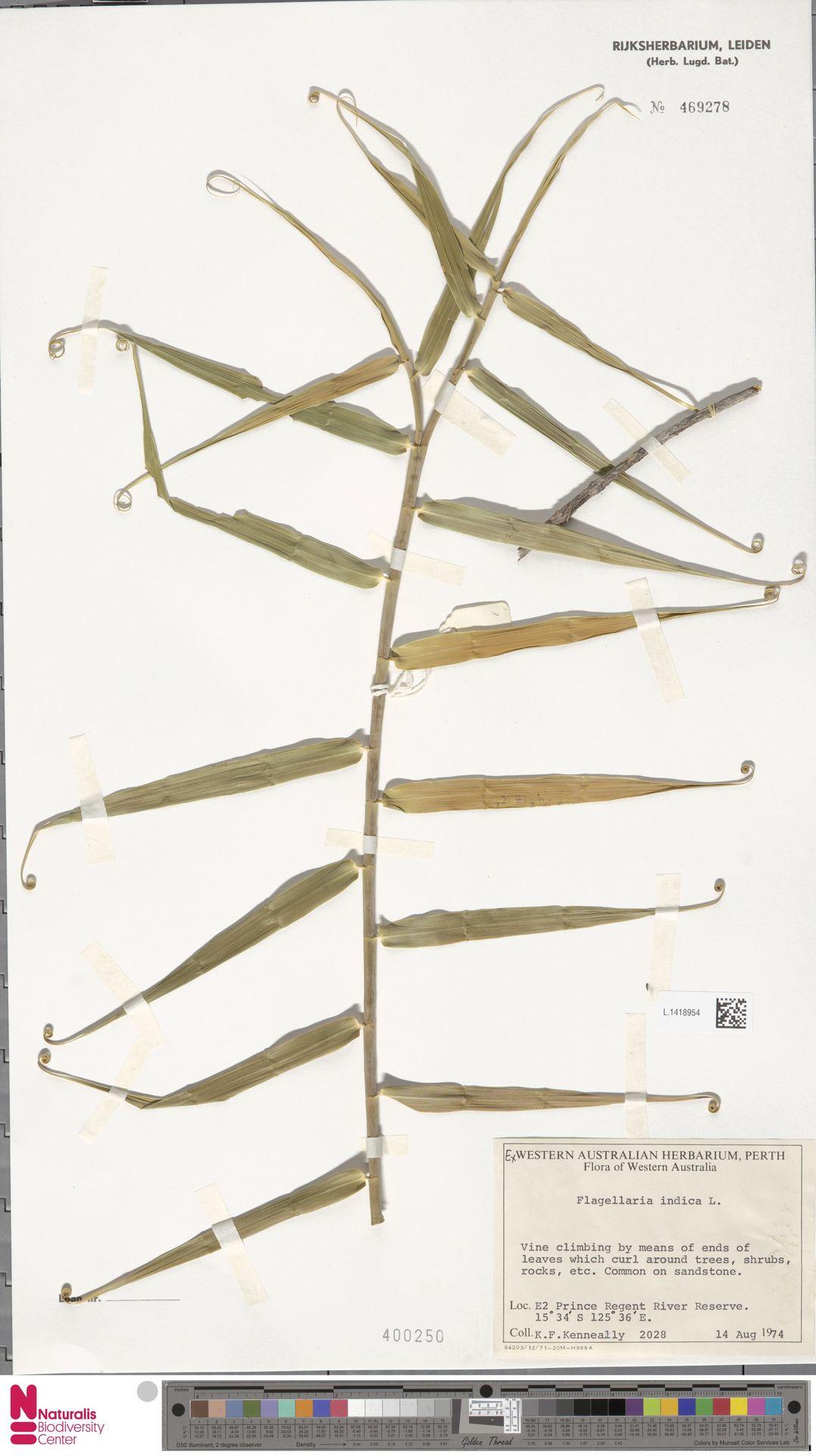 L.1418954 | Flagellaria indica L.