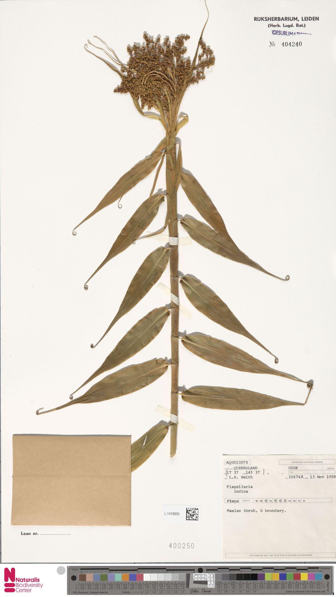 L.1418955   Flagellaria indica L.