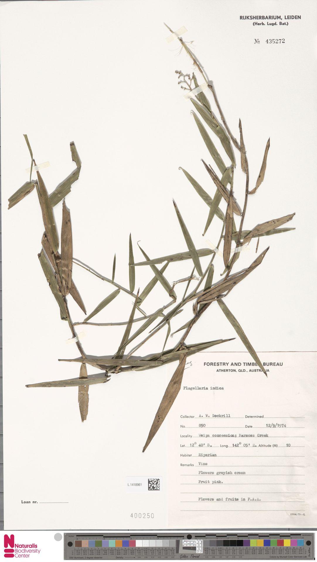 L.1418961 | Flagellaria indica L.