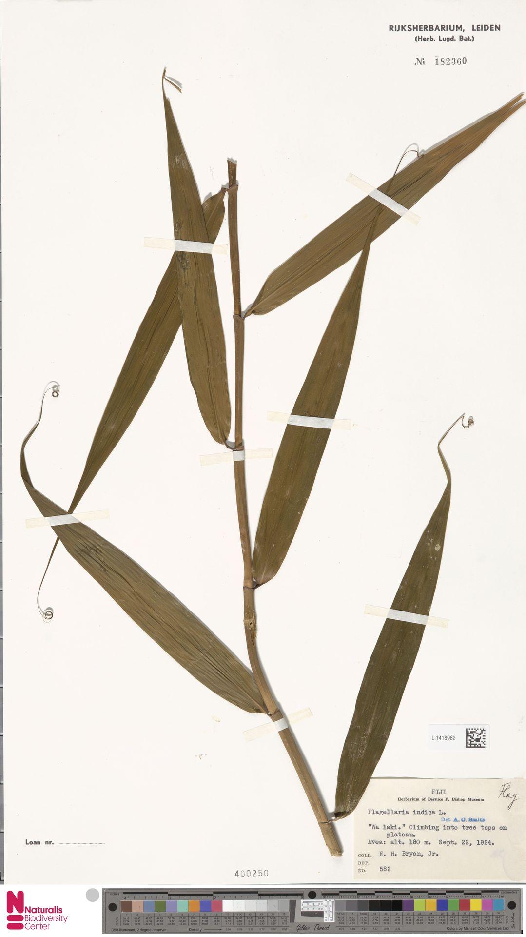 L.1418962 | Flagellaria indica L.