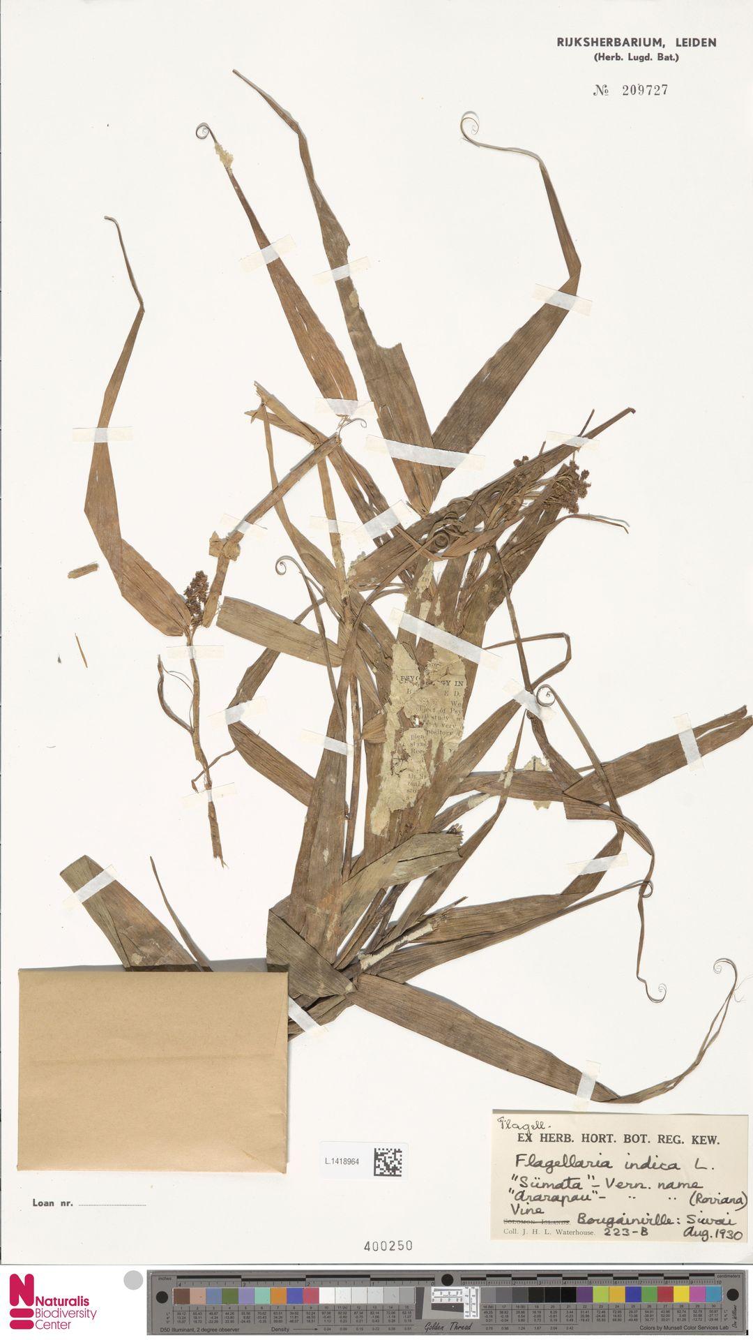 L.1418964 | Flagellaria indica L.