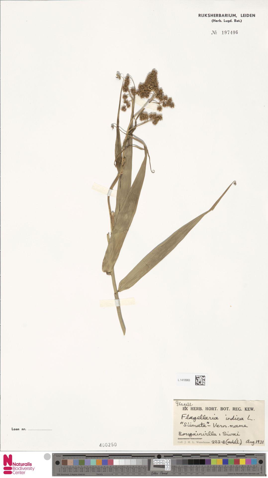 L.1418965   Flagellaria indica L.