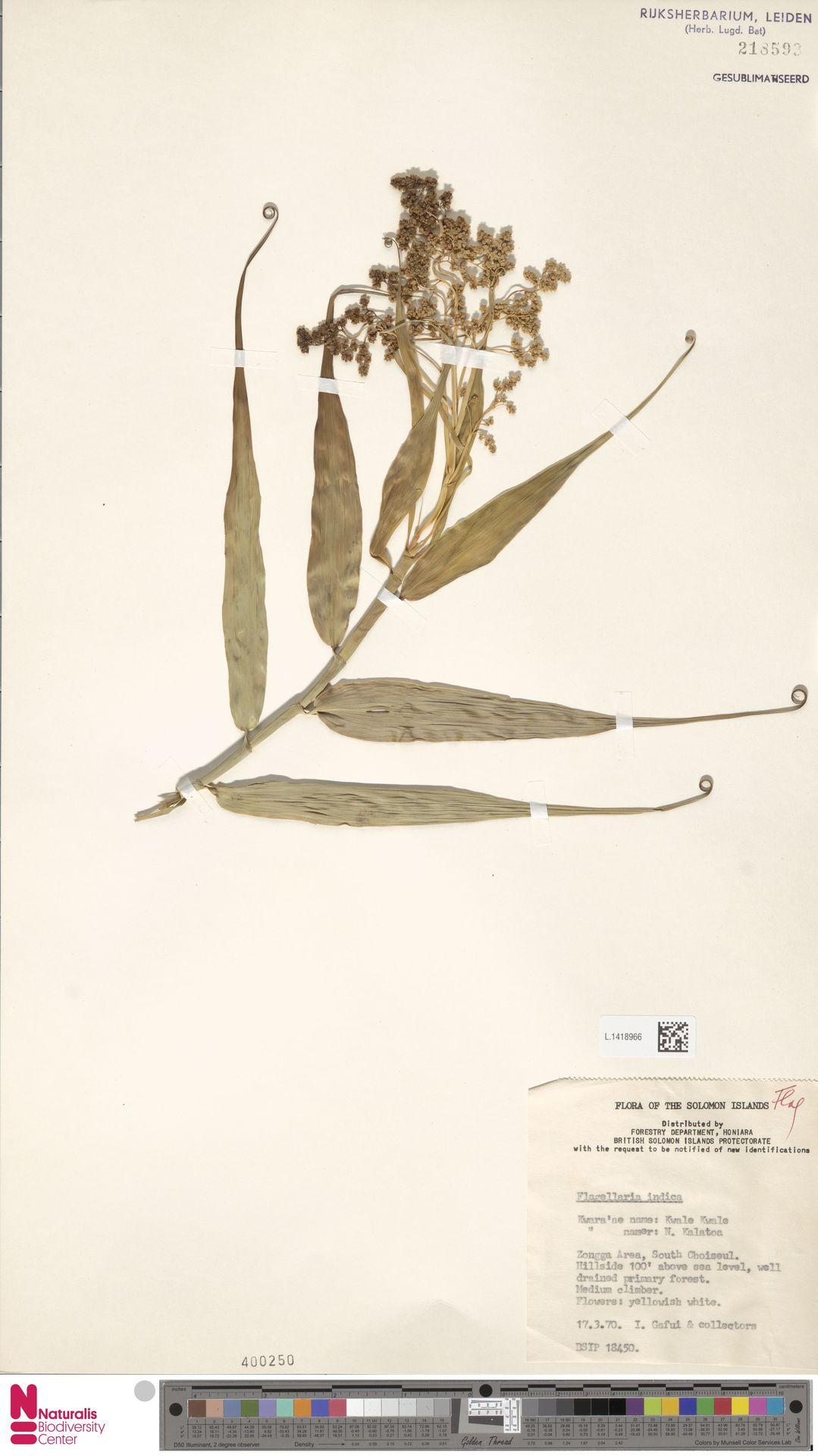 L.1418966 | Flagellaria indica L.