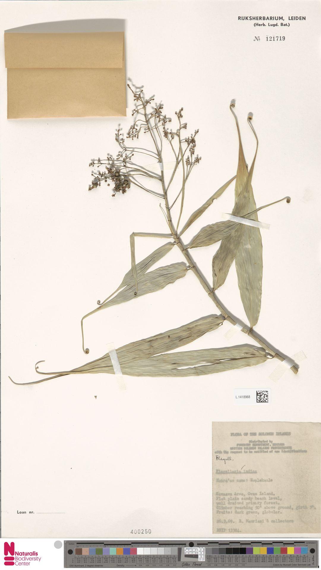 L.1418968 | Flagellaria indica L.