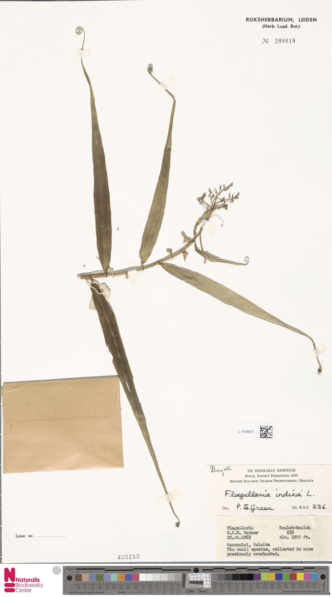 L.1418973 | Flagellaria indica L.