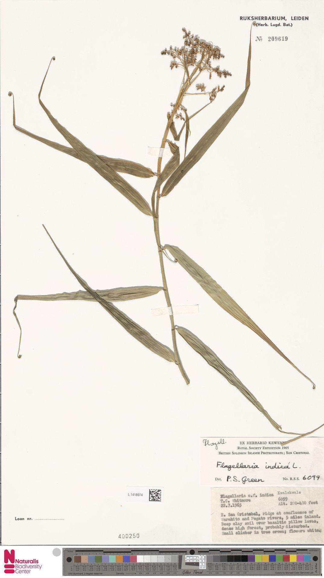 L.1418974   Flagellaria indica L.