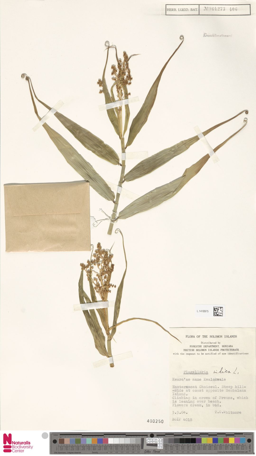 L.1418975   Flagellaria indica L.