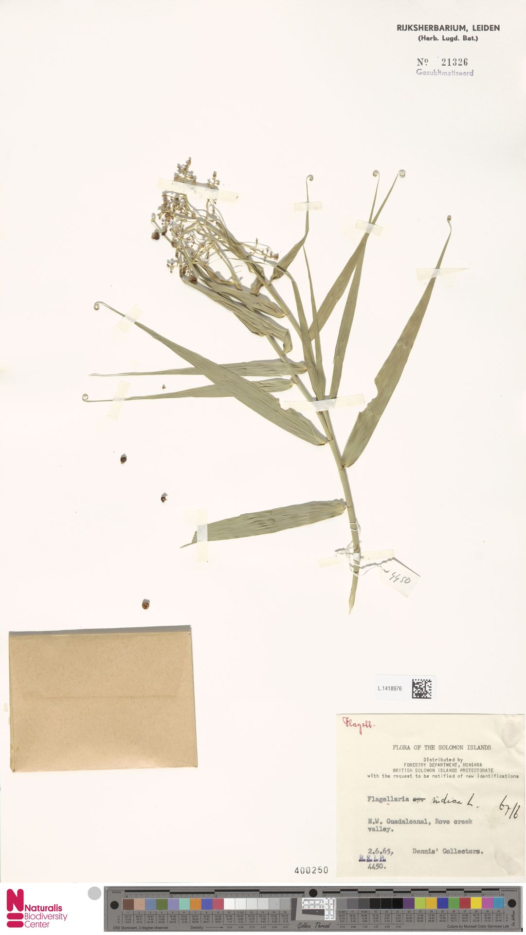L.1418976 | Flagellaria indica L.