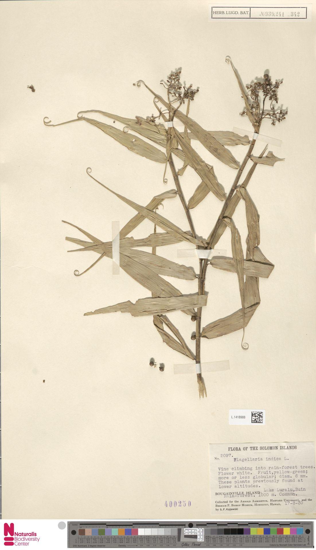 L.1418988 | Flagellaria indica L.