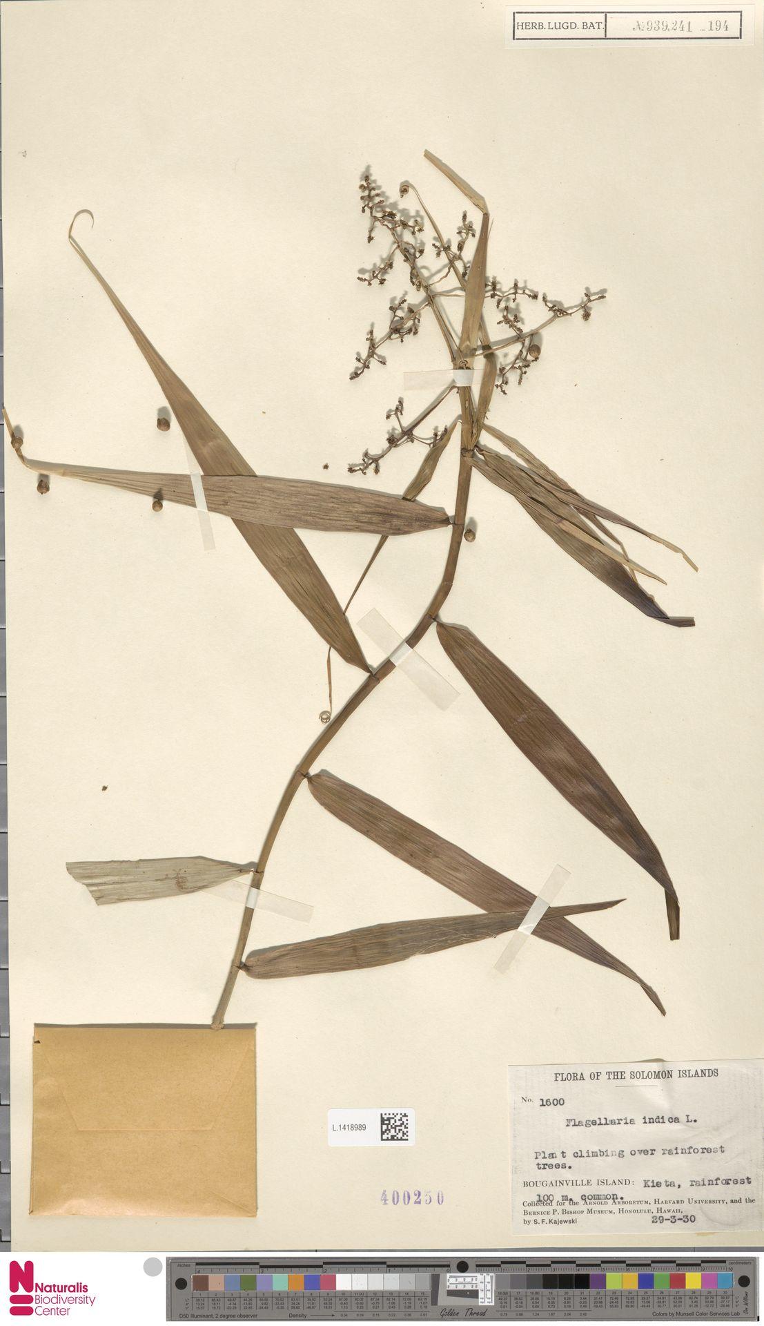 L.1418989   Flagellaria indica L.