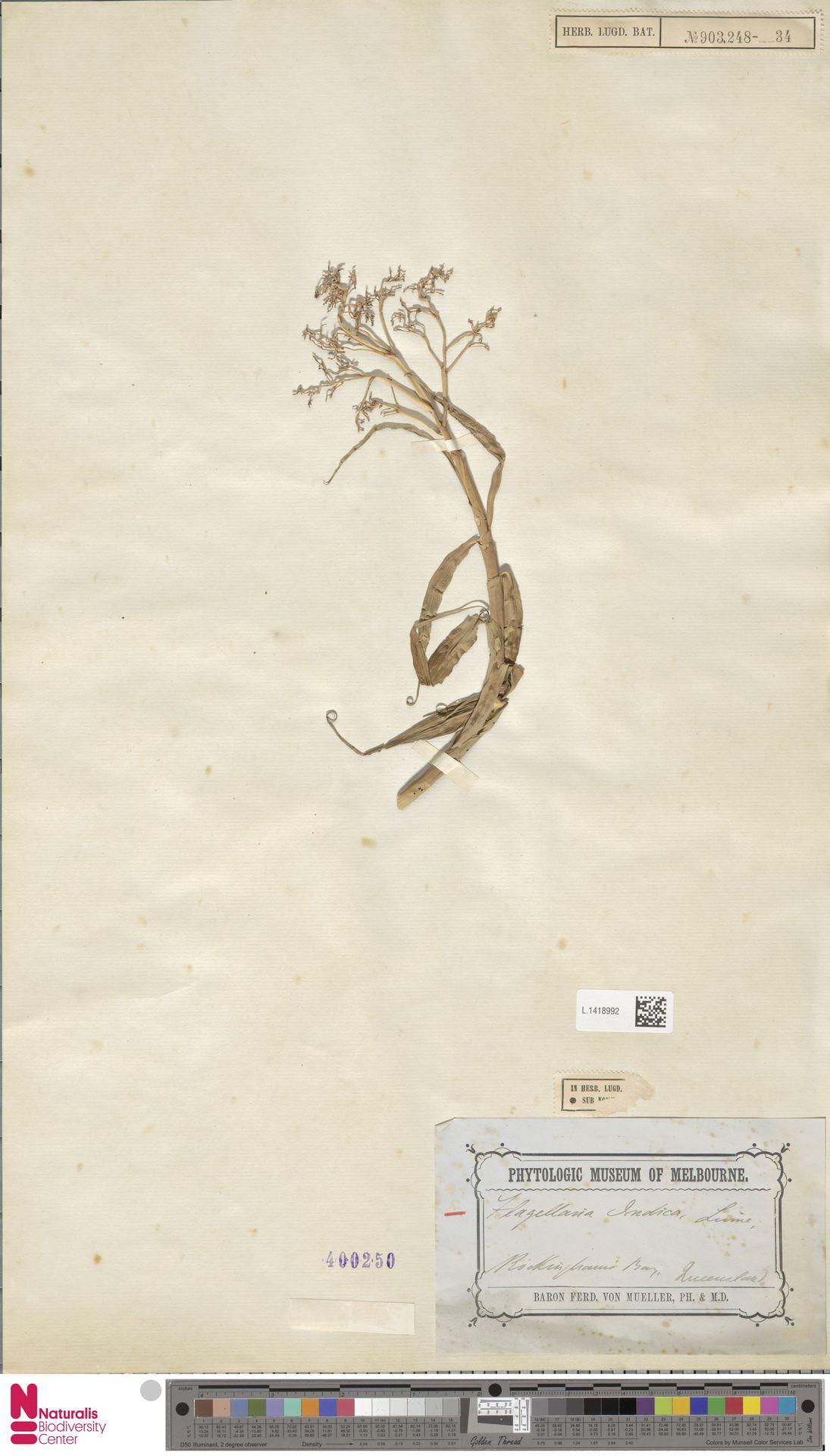 L.1418992 | Flagellaria indica L.