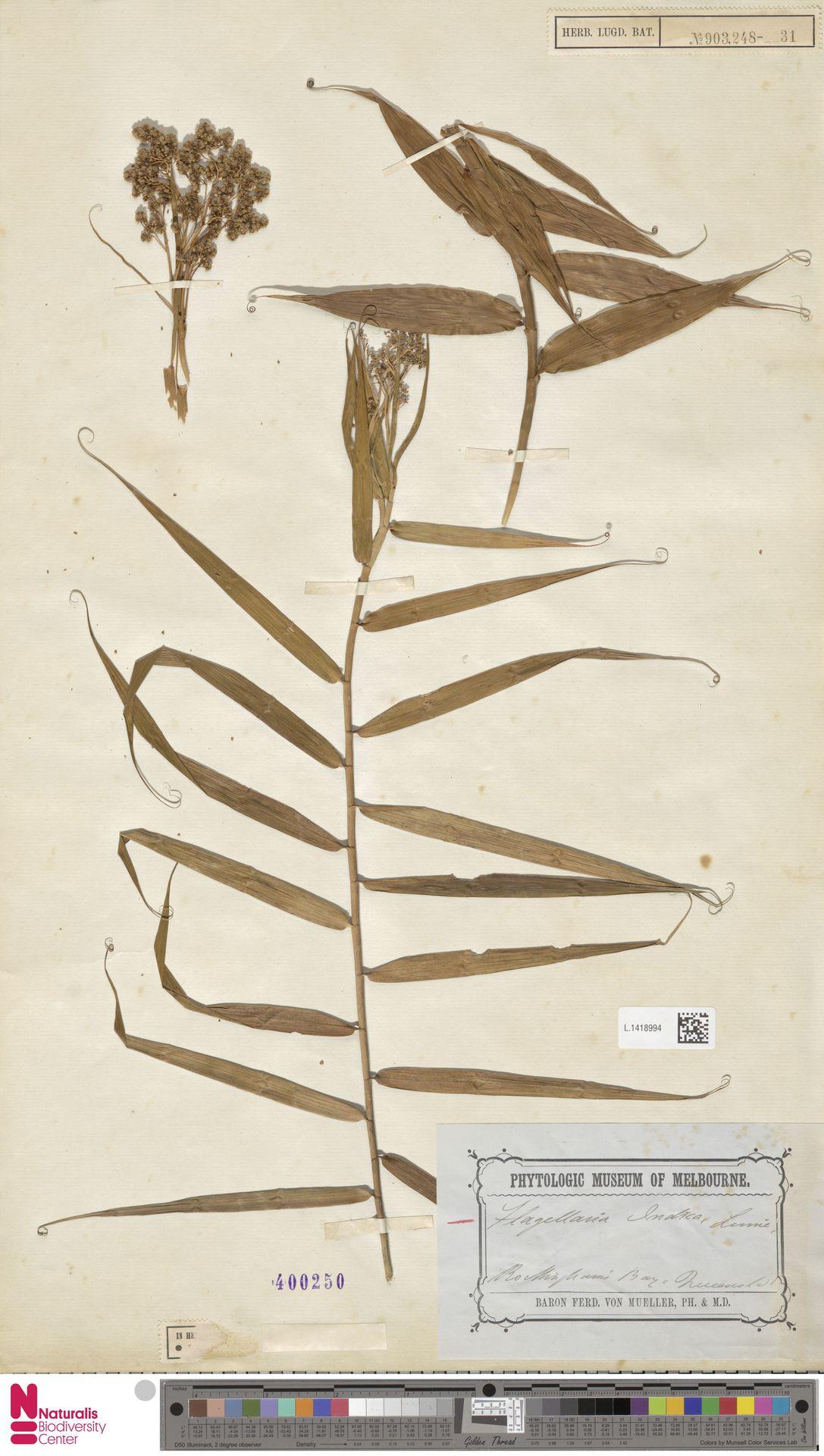L.1418994 | Flagellaria indica L.