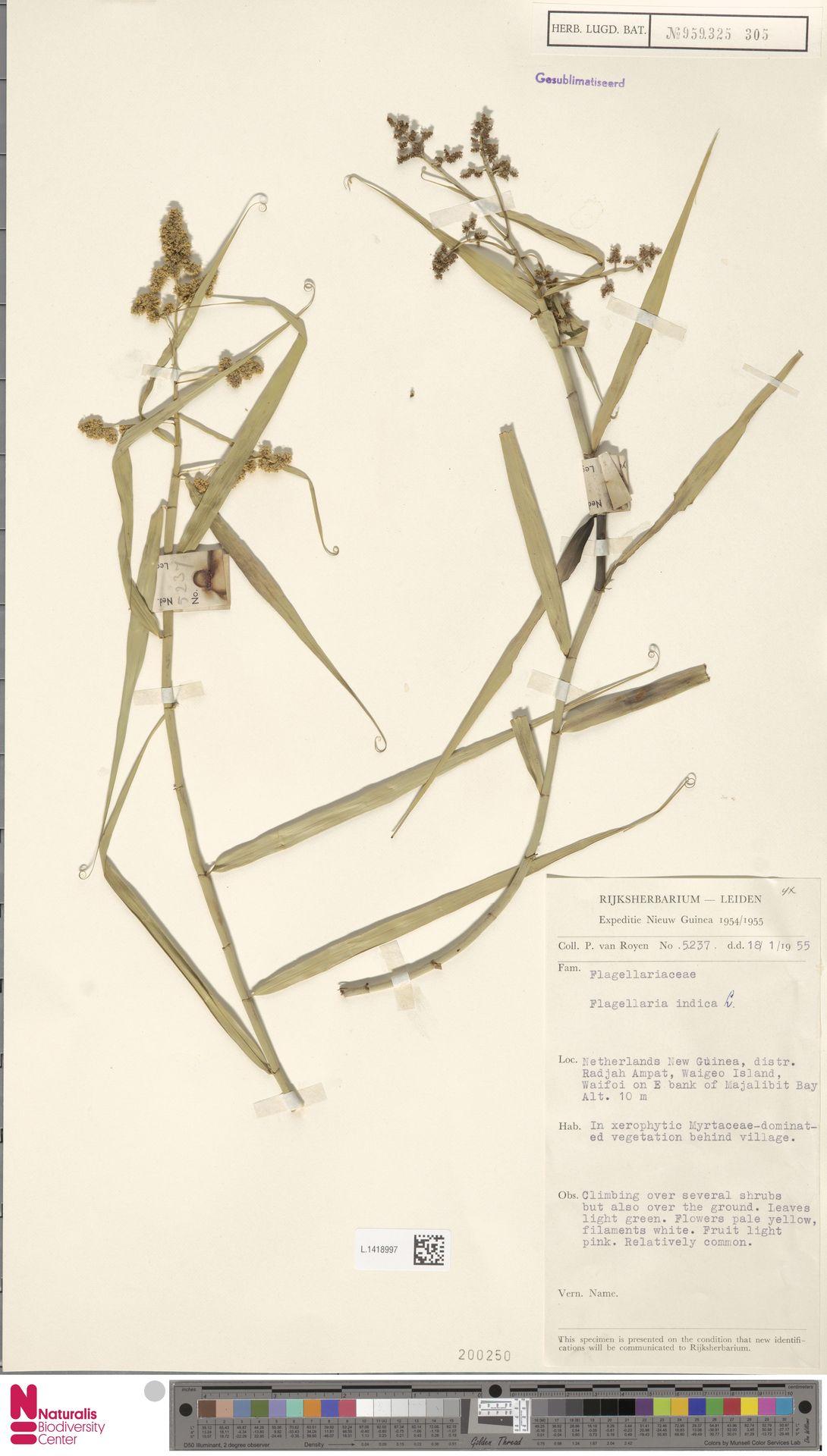 L.1418997 | Flagellaria indica L.