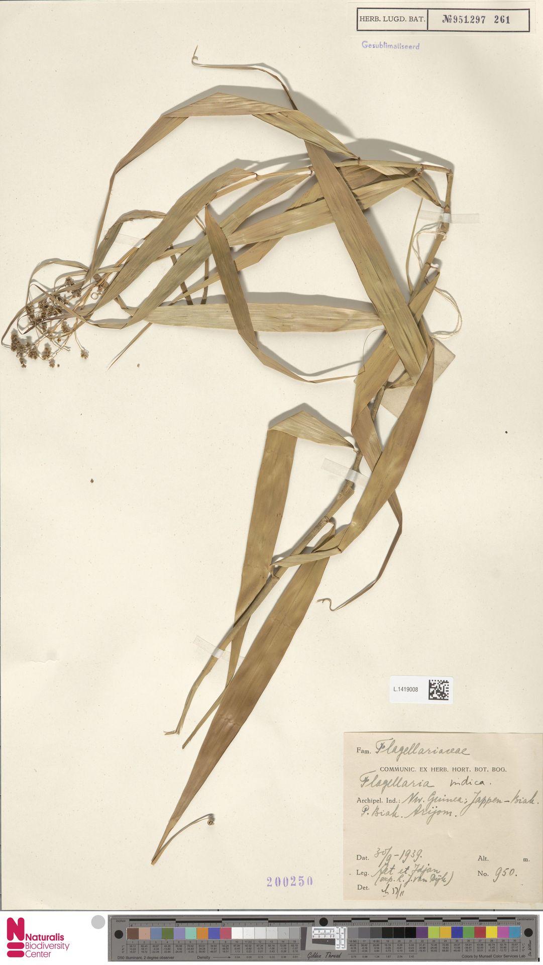 L.1419008 | Flagellaria indica L.
