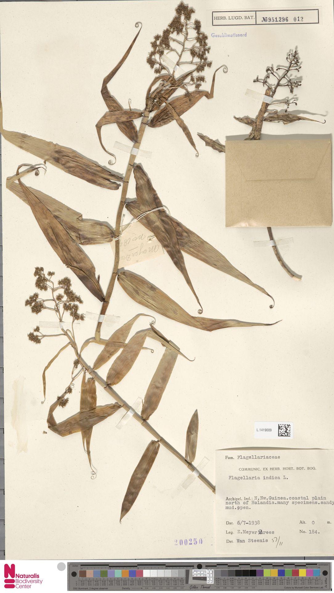 L.1419009 | Flagellaria indica L.
