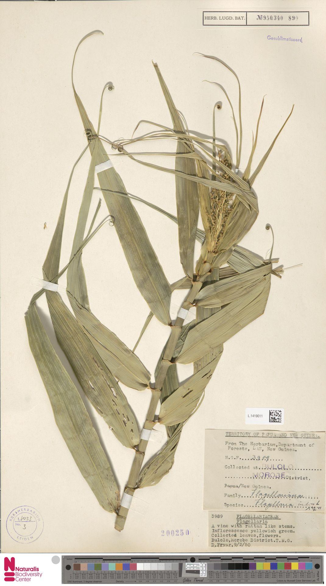 L.1419011 | Flagellaria indica L.