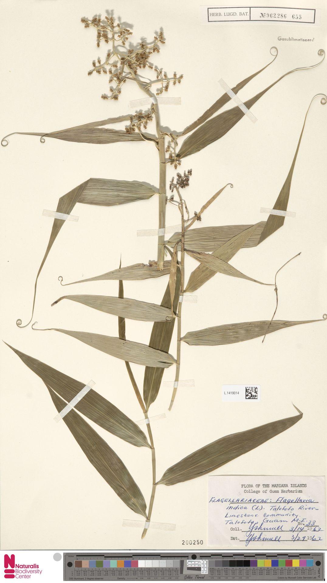 L.1419014   Flagellaria indica L.