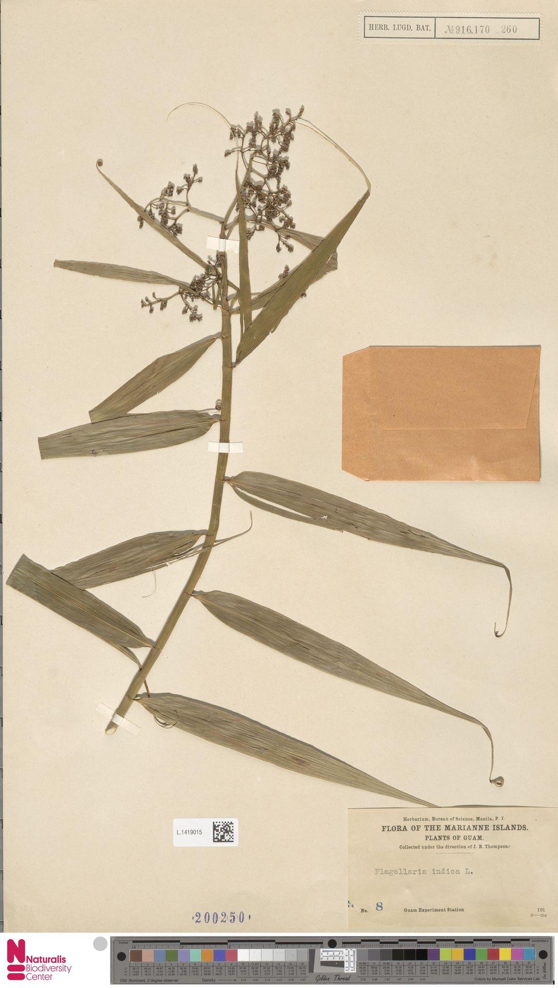 L.1419015 | Flagellaria indica L.