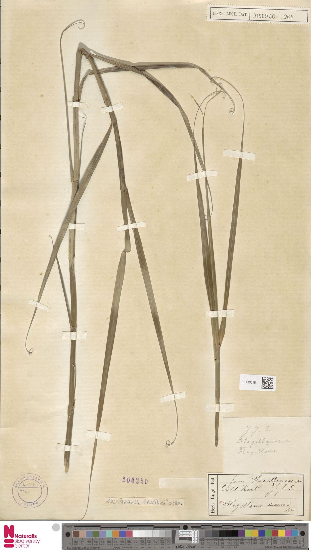 L.1419016 | Flagellaria indica L.