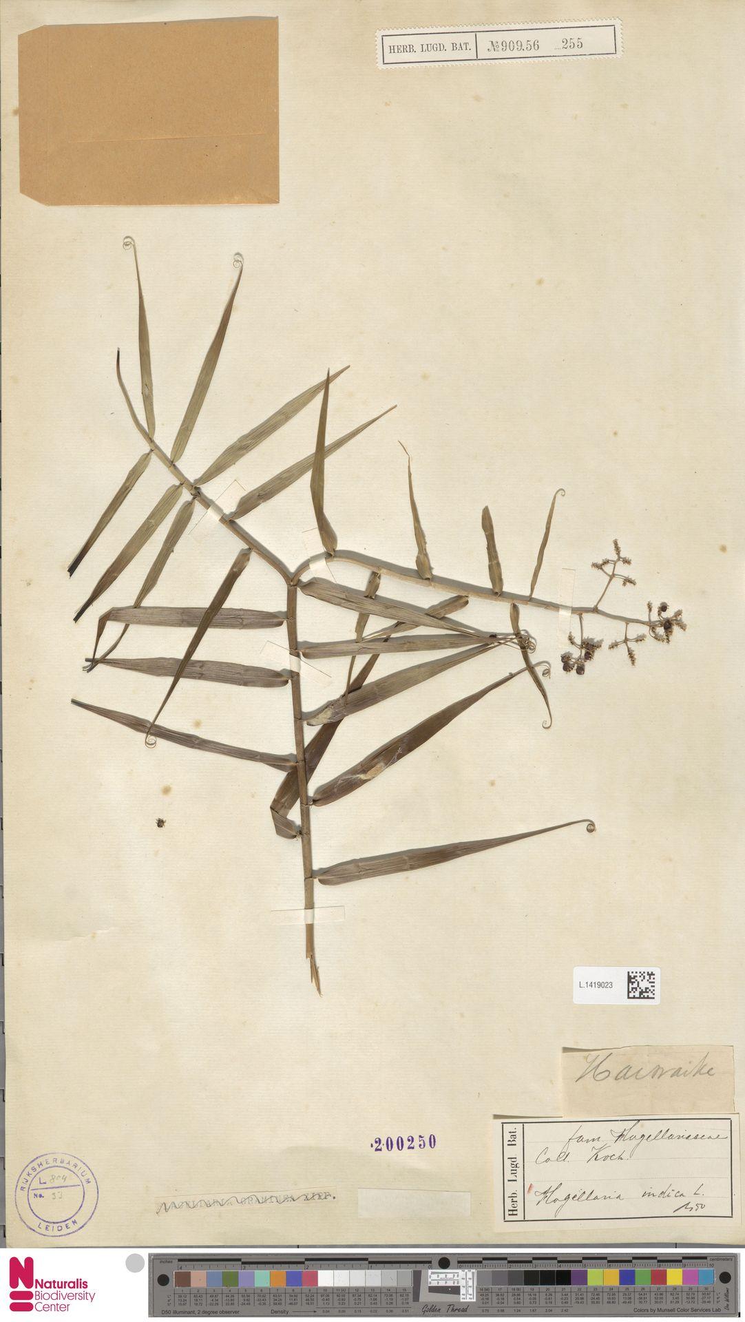 L.1419023 | Flagellaria indica L.