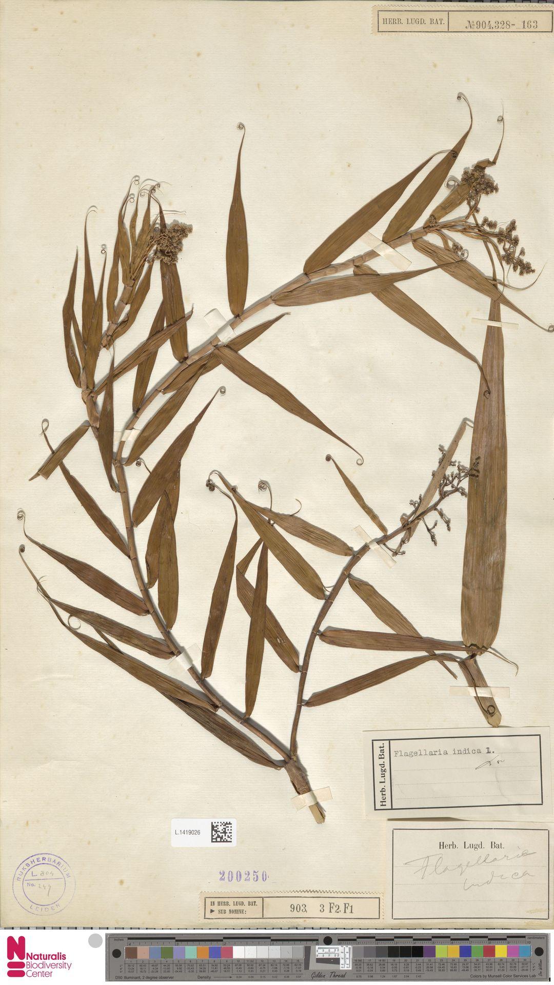 L.1419026 | Flagellaria indica L.