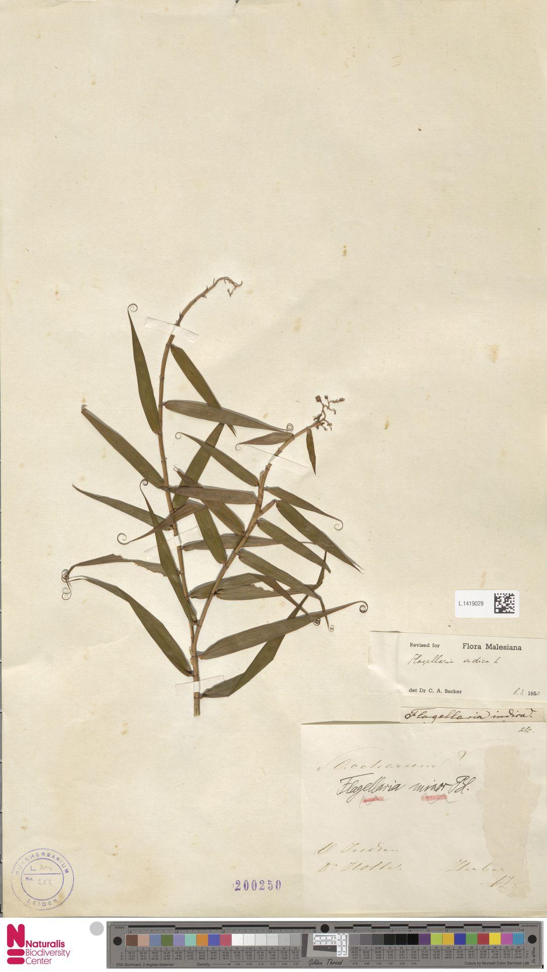 L.1419029 | Flagellaria indica L.
