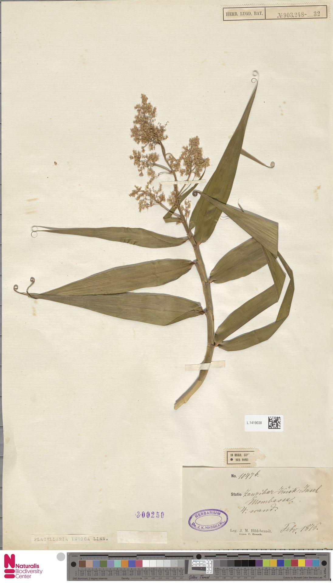 L.1419038 | Flagellaria indica L.