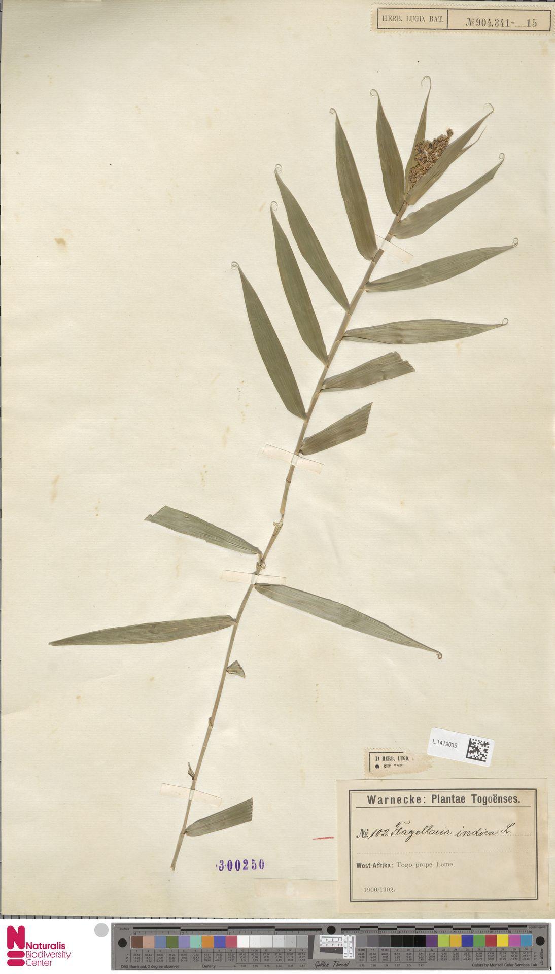 L.1419039 | Flagellaria indica L.